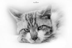 concentration (dim.pagiantzas | photography) Tags: cats feline cat pets eyes animals beautiful white blackandwhite gray grayscale kitten kitty indoor canon tiger look high key animal pet monochrome