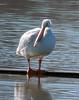 IMG_4414 (lbj.birds) Tags: kansas nature flinthills wildlife bird pelican americanwhitepelican