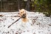 Snow Day '17 (R24KBerg Photos) Tags: yogi dog goldenretriever cute sweet pet animal canon snow 2017 wintervillenc friend winter cold snowfall playing playful