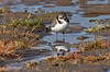 Ringed Plover from Mars (Roy Lowry) Tags: charadriushiaticula ringedplover hoylake wader