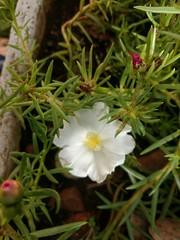 white (Rodrigo Ribeiro) Tags: white branca flor flower nature natureza garden gardening jardim jardinagem