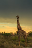 Head in the storm (F L O R E N T D U C H E N E) Tags: voyage wildlife wilderness nature florentduchene travel colors southafrica krugernationalpark kruger sky paysage storm girafe
