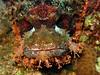 Scorpionfish (Lerotic) Tags: uw underwater egypt redsea scuba diving