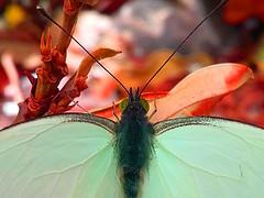 All mine (ix 2017) Tags: mariposa butterfly insect cuernavaca morelos mexico mariposario parque park chapultepec israfel67 ojos eyes antenas antennas alas wings rojo red