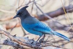 Steller's Jay (Cyanocitta stelleri) (byjcb) Tags: birds jay reno nevada unitedstates