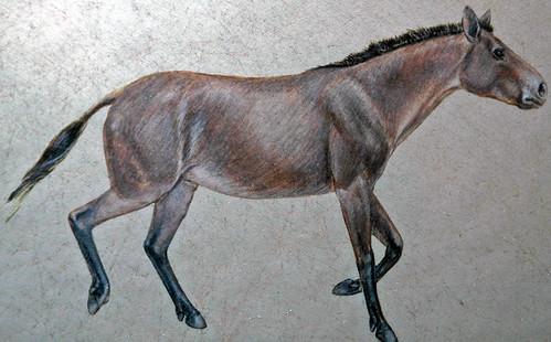 acritohippus isonesus fossils horses fossil horse sheep creek formation miocene nebraska mammal mammals reconstruction