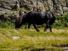 Snowdon Llanberis-Watkin-Horse (Caught On Digital) Tags: cymru llanberispath landscape mountsnowdon mountain mountains northwales snowdon snowdonia wales wildhorses