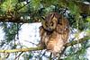 Hibou moyen-duc (Ferdinand23) Tags: moyenduc oiseaux rapaces