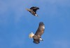 7K8A9006 (rpealit) Tags: scenery wildlife nature new york state bald eagles bird