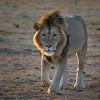 Sauntering home after a hearty breakfast (Janet Marshall LRPS) Tags: lion battlescars masaimara earlymorning backlight rimlight mane