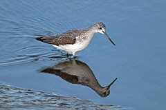greenshank (Explore) (DODO 1959) Tags: wildlife wales nature avian birds water wader greenshank carmarthenshire 1dmk4 canon 500mmf4isllens kidwellyquay animal outdoor fauna reflection