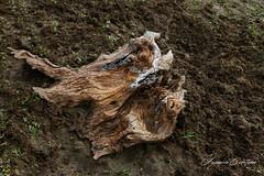 Tierra (Ignaciocenteno{photo}) Tags: ignaciocenteno canon canon24mmstm tronco suelo tierra embalsedemorales lasrozasdelpuertoreal madrid españa