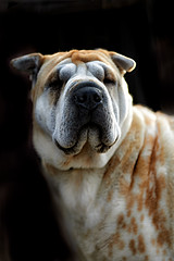 Dog (zebrazoma) Tags: dog chien race portrait rue street dodgeburn nikon d4 70200