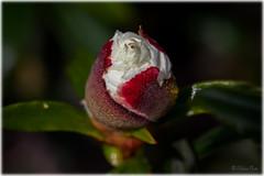 Camellia Bud (Palmius Photo) Tags: algarve nature flowerbud bud knopp blomknopp camelliabud camellia camelliaknopp