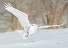 Harfang des neiges - Bubo scandiacus - Snowy Owl (Anthony Fontaine photographe animalier) Tags: wow