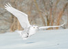 Harfang des neiges - Bubo scandiacus - Snowy Owl (Anthony Fontaine photographe animalier) Tags: