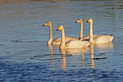 Whooper swans, Fife (ruth spotlight) Tags: swans whooper whooperswans spotlightimages wildlife fife nature