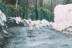 La perra impermeable (The Pumpkin Theory) Tags: dog perro mascota pet nieve snow cold frio chubasquero impermeable road camino white blanco