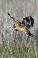 Short-eared Owl  (Asio flammeus) (Brian Carruthers-Dublin-Eire) Tags: strigidae asio flammeus shorteared owl hibou marais sumpfohreule lechuza campestre velduil ulchabhán réisc asioflammeus shortearedowl hiboumarais lechuzacampestre ulchabhánréisc strigiformes bird bop outdoor birdofprey