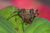 Araneidae (mon_ster67) Tags: spider arthropod arachnid arachnida hairyspider 8leggedfreaks crawler garden macro macrophotography closeup backyard ef100mmf28lmacroisusm canon canoneosrebelt5i mon ©mon araneidae araneus spinyspider crownofthorns euphorbia t5i