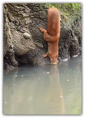 90° (guiguid45) Tags: nature sauvage animaux mammifères loiret forêt d810 nikon 300mmf28 écureuil eurasianredsquirrel écureuilroux squirrel