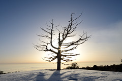 Death tree (ciccioetneo) Tags: nikond7000 sigma1020mmf456 sunburst etna sartorius ciccioetneo backlight deathtree pine driedpine