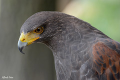 Poiana di Harris (alfvet) Tags: veterinarifotografi uccelli birds natura nature nikon