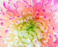 Soft morning light... (12bluros) Tags: flora floral flower macro canonef100mmf28lmacroisusm bloom flores closeup chrysanthemum nature pastel petal pink white mum soft awesomeblossoms ngc macrodreams