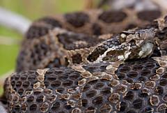 Eastern Massasauga Rattlesnake (Nick Scobel) Tags: macro nature wildlife eastern rattlesnake venomous massasauga