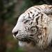 white tigers head