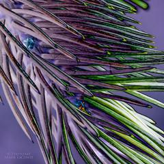 Purple Pine (PhotoArtMarie) Tags: green pine purple creativeedit