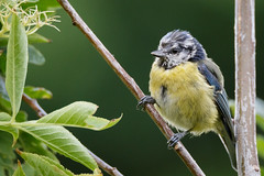 Blue Tit (Unintended_Keith) Tags: blue cute green bird nature yellow garden wildlife fluffy berkshire bluetit scruffy wokingham canon70d tamronspaf150600mmf563divcusd