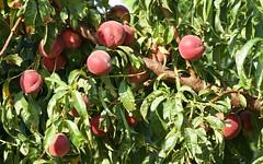 Ici, on a la pêche ! IMG_6324 (6franc6) Tags: 30 fruit rando juillet languedoc gard balade 2015 petitecamargue vélo 6franc6