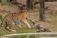 Zoolgico BH Junho-2015 (Ben-hurBH-MG) Tags: jardim zoolgico beijaflor pontes pintada tigre japones horizonte gorila elefante pampulha ona belo leoa tucano rinoceronte hipopotamo tigresa benhur rubem cerejeira benhurbhmg