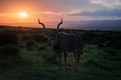 Kudu at sunset (staanie) Tags: africa travel k reisen pentax daniel south afrika 50 2015 schradi