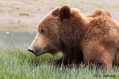 Alaskan Coastal Brown Bear, (Eric Gofreed) Tags: bear brownbear grizzlybear katmainationalparkandpreserve alaska2015