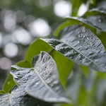 """Raindrops on leaves • <a style=""""font-size:0.8em;"""" href=""""http://www.flickr.com/photos/28211982@N07/19708925099/"""" target=""""_blank"""">View on Flickr</a>"""