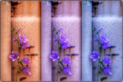 fun with white balance (s@ssyl@ssy) Tags: flower daylight weed triptych rusty container fluorescent tungsten whitebalance hss sliderssunday