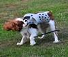 DSC_0068 (Lotsig) Tags: dog playing king charles hund spaniel cavalier dexter cavalierkingcharlesspaniel leker norje foppa foppatoffla norjeboke foppis