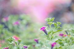 Petunias (Elizabeth_211) Tags: flowers nature garden purple bokeh tennessee petunias 100400mm 6d jacksontn westtn sherielizabeth