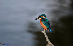 Kingfisher. (spw6156 - Over 5,239,001 Views) Tags: kingfisher iso 800 hard backlight from water copyright steve waterhouse