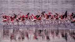 Flamingos (iosif.michael) Tags: sony a55 flamingos saltlake larnaca cyprus color colourful