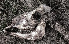 Skull. (dicktay2000) Tags: murringogap ©richardtaylor 40d australia nsw tokina1224mm murringo newsouthwales 20130520img5180