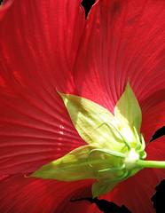 Hibiscus Down Under (Puzzler4879) Tags: hibiscus redhibiscus flowers flowermacro redflowers red bbg brooklynbotanicgarden botanicgardens botanicalgardens publicgardens gardens a580 canona580 powershota580 powershot canonpowershot canon canonaseries canonphotography canonpointandshoot pointandshoot flowerundersides flowersfrombelow