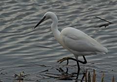 Little Egret (Tim Gardner pics) Tags: egret