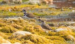 7K8A7057 (rpealit) Tags: scenery wildlife nature east hatchery hackettstown killdeer bird