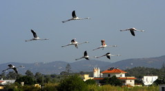 Olhão 2016 - Flamingos na Ria Formosa 05 (Markus Lüske) Tags: portugal algarve ria formosa riaformosa olhao olhão flamingo flamenco lueske lüske luske
