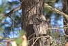 Barred owl (U. S. Fish and Wildlife Service - Northeast Region) Tags: owl bardowl massachusetts connecticutriver