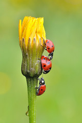 Drei mal Glück (rudolfaurnhammer) Tags: natur tiere insekten käfer marienkäfer