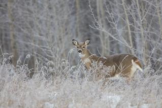 Whitetail Deer (f)